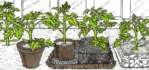 rassada-pomidor