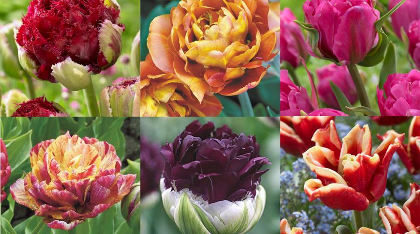 Посадка тюльпанов осенью в Подмосковье: время, сроки, правила 92